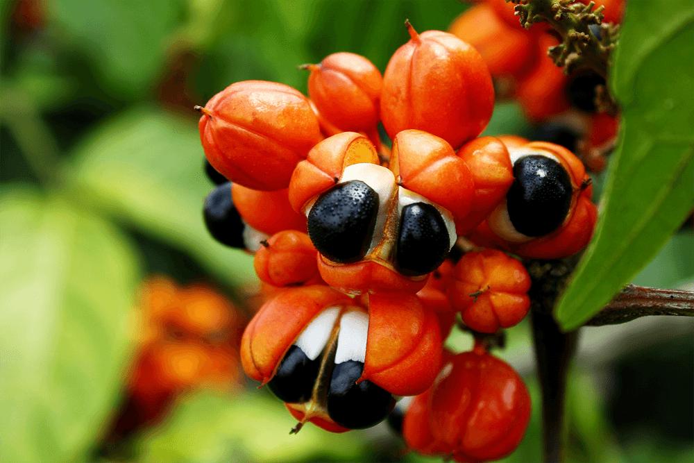 Planta do guaraná