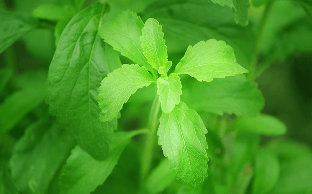 Plantas de Stevia